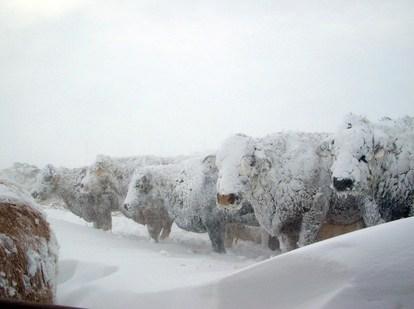 cows-blizzard-07-edit4.jpg